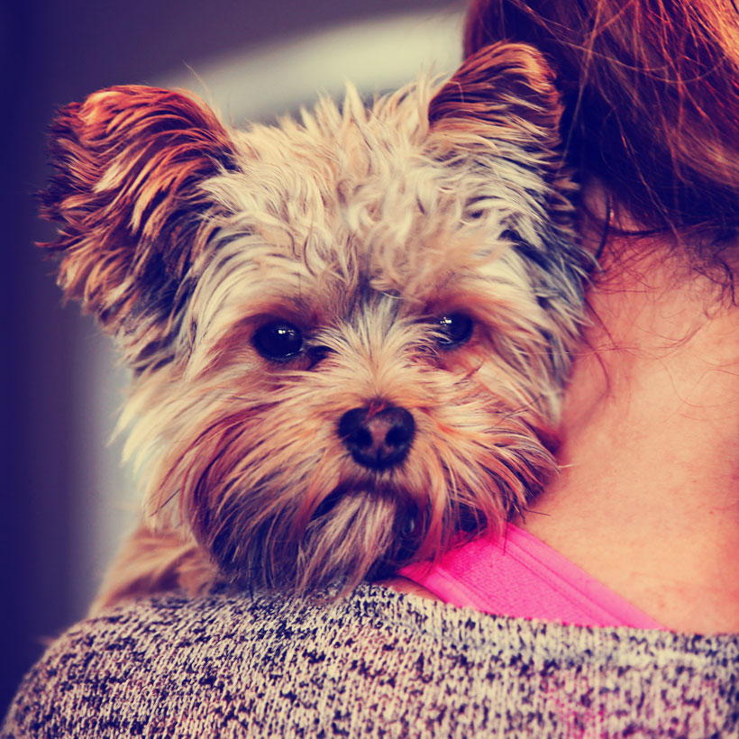 Yorkshire Terrier Northern California
