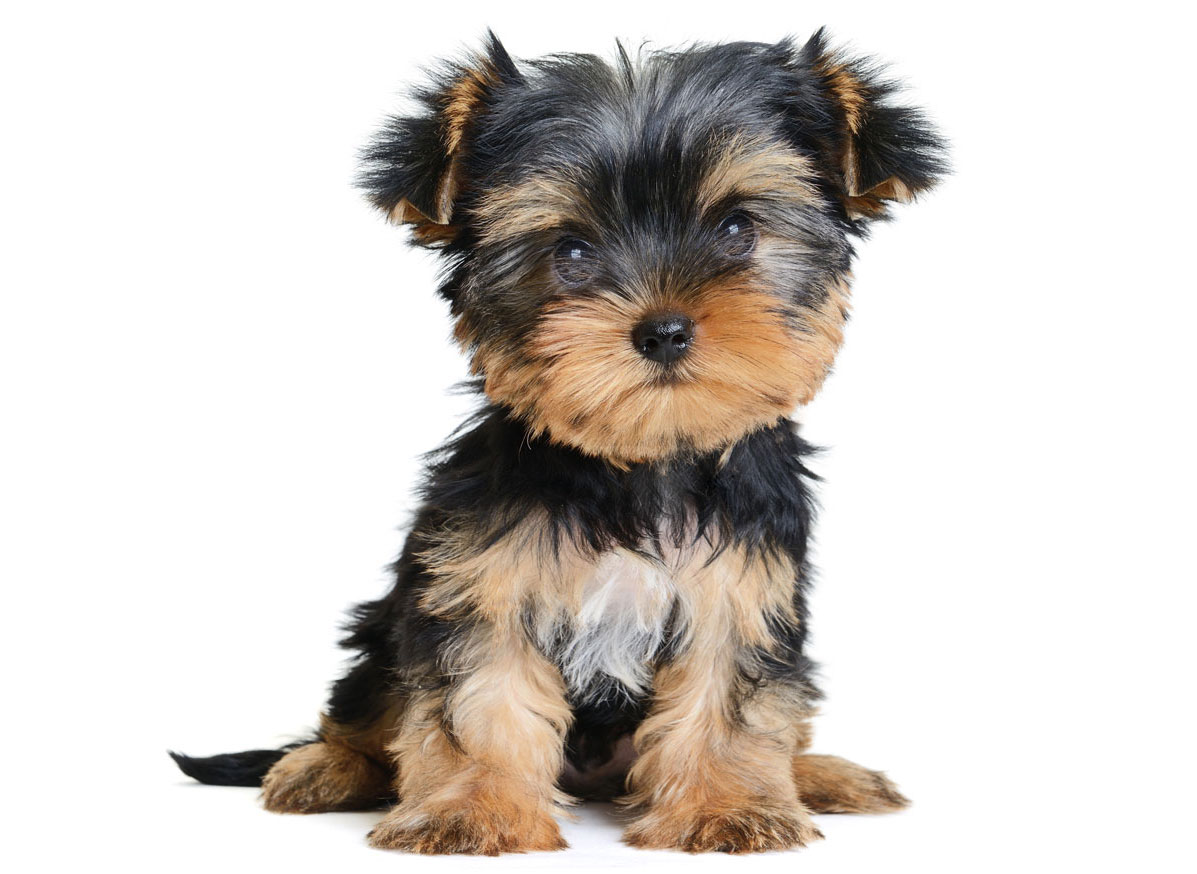 Yorkshire Terrier Puppies for Sale in Detroit MI by Uptown Puppies