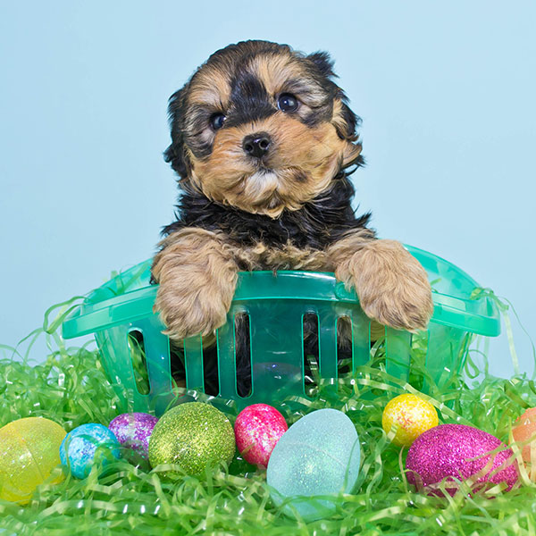 Uptown Puppies Yorkiepoo Breeder
