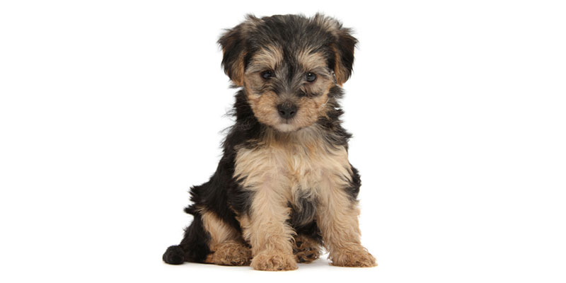 Yorkipoo puppies for sales