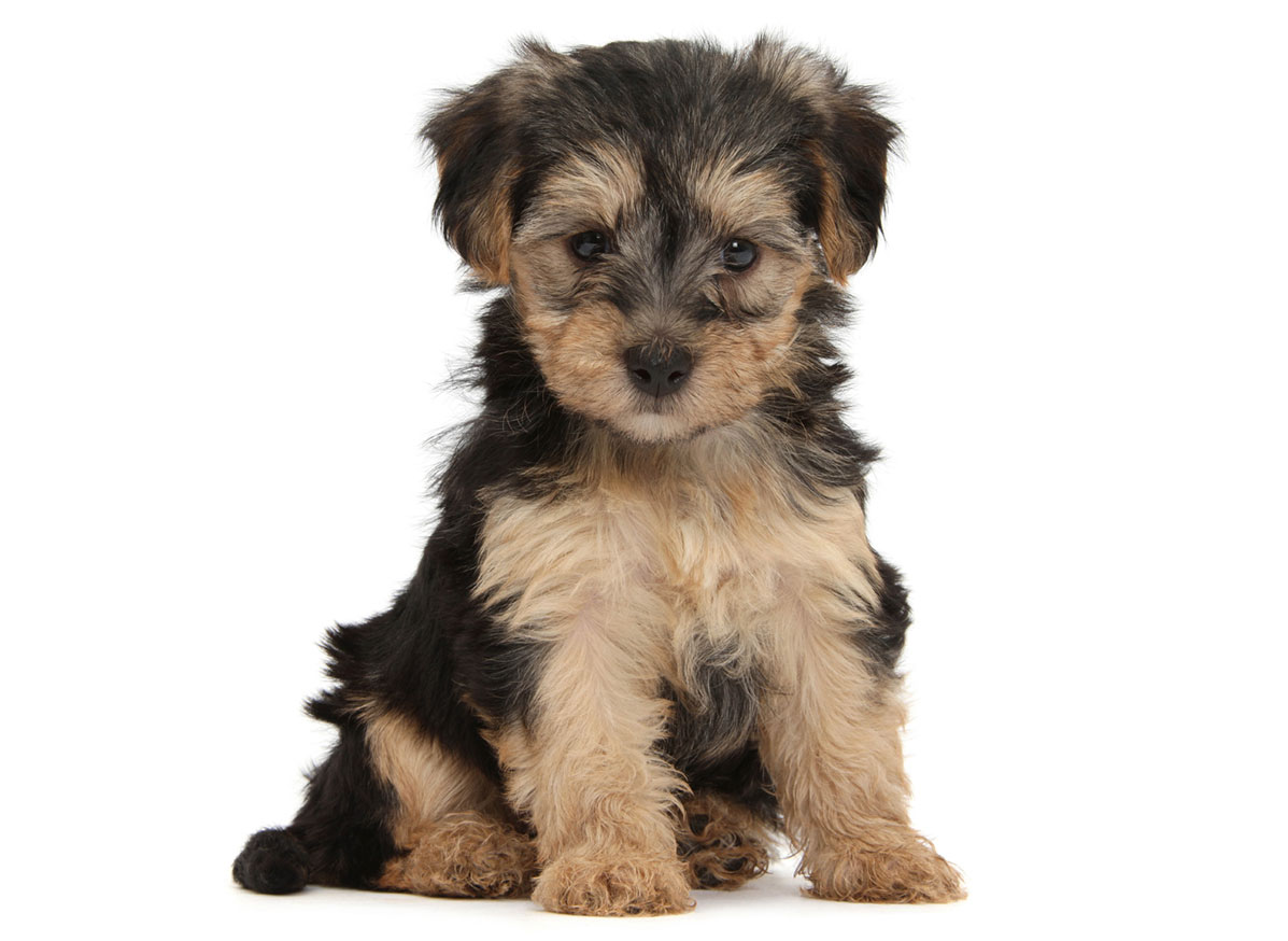 Yorkiepoo Puppies for Sale in Miami FL by Uptown Puppies