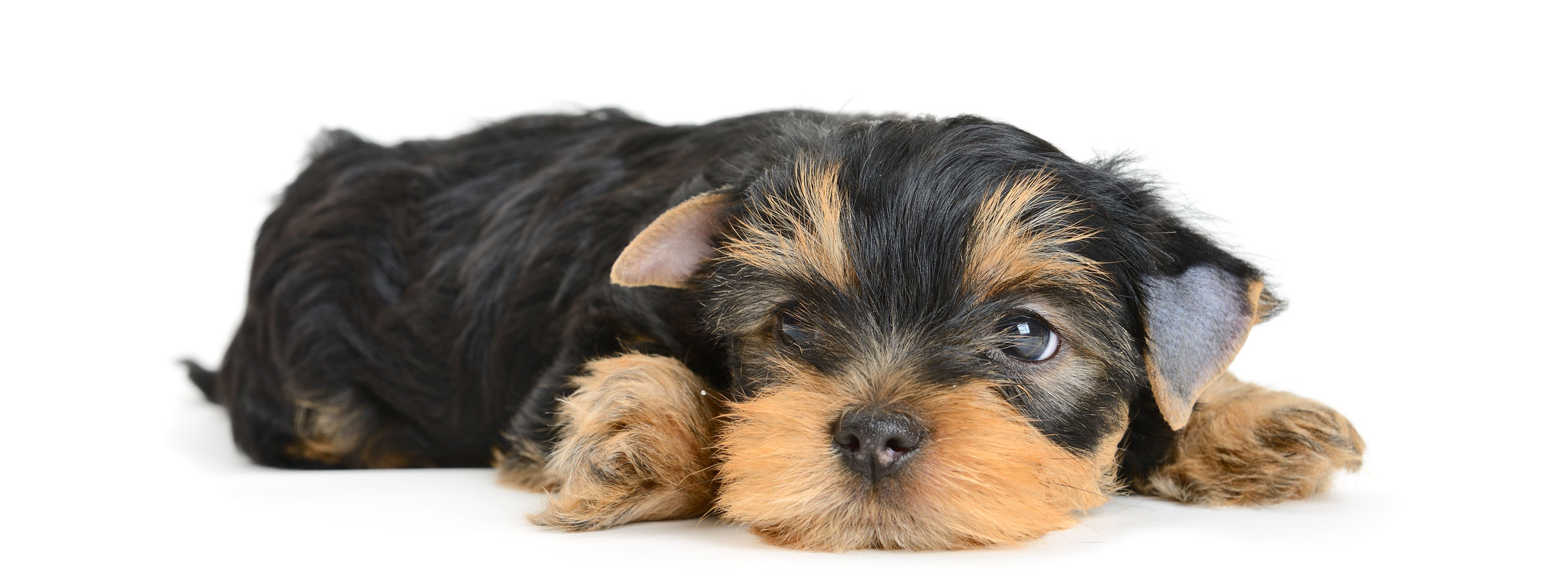 Yorkshire Terrier puppy finder