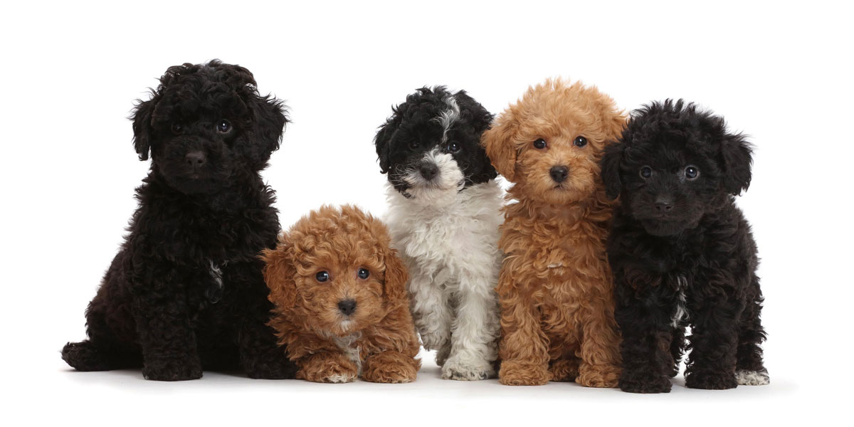 What Is a Micro Goldendoodle?