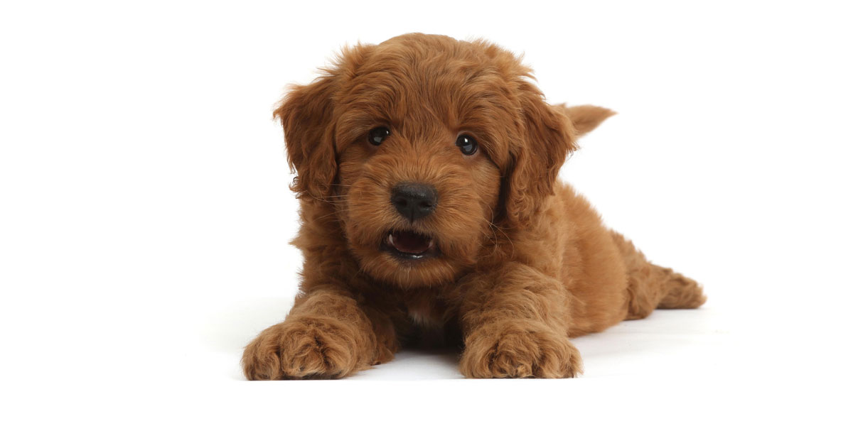 What Is a Mini Goldendoodle?