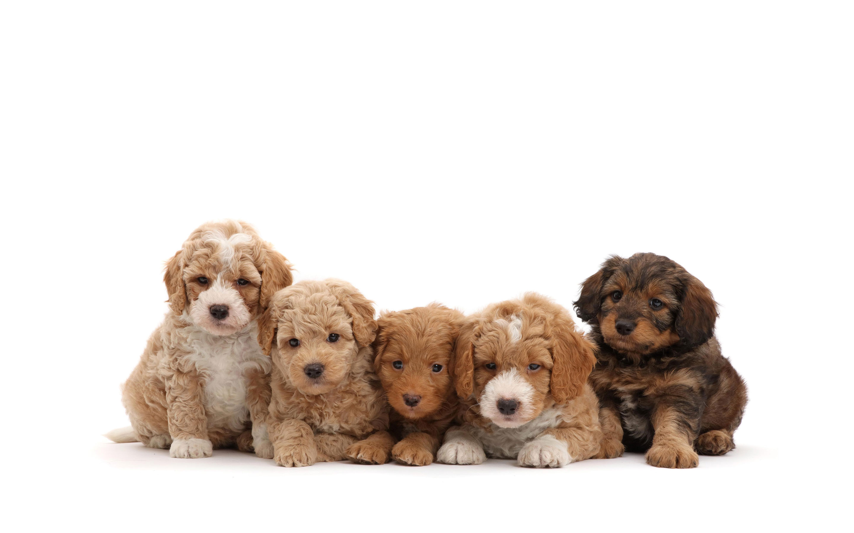 What Is a Standard Labradoodle?
