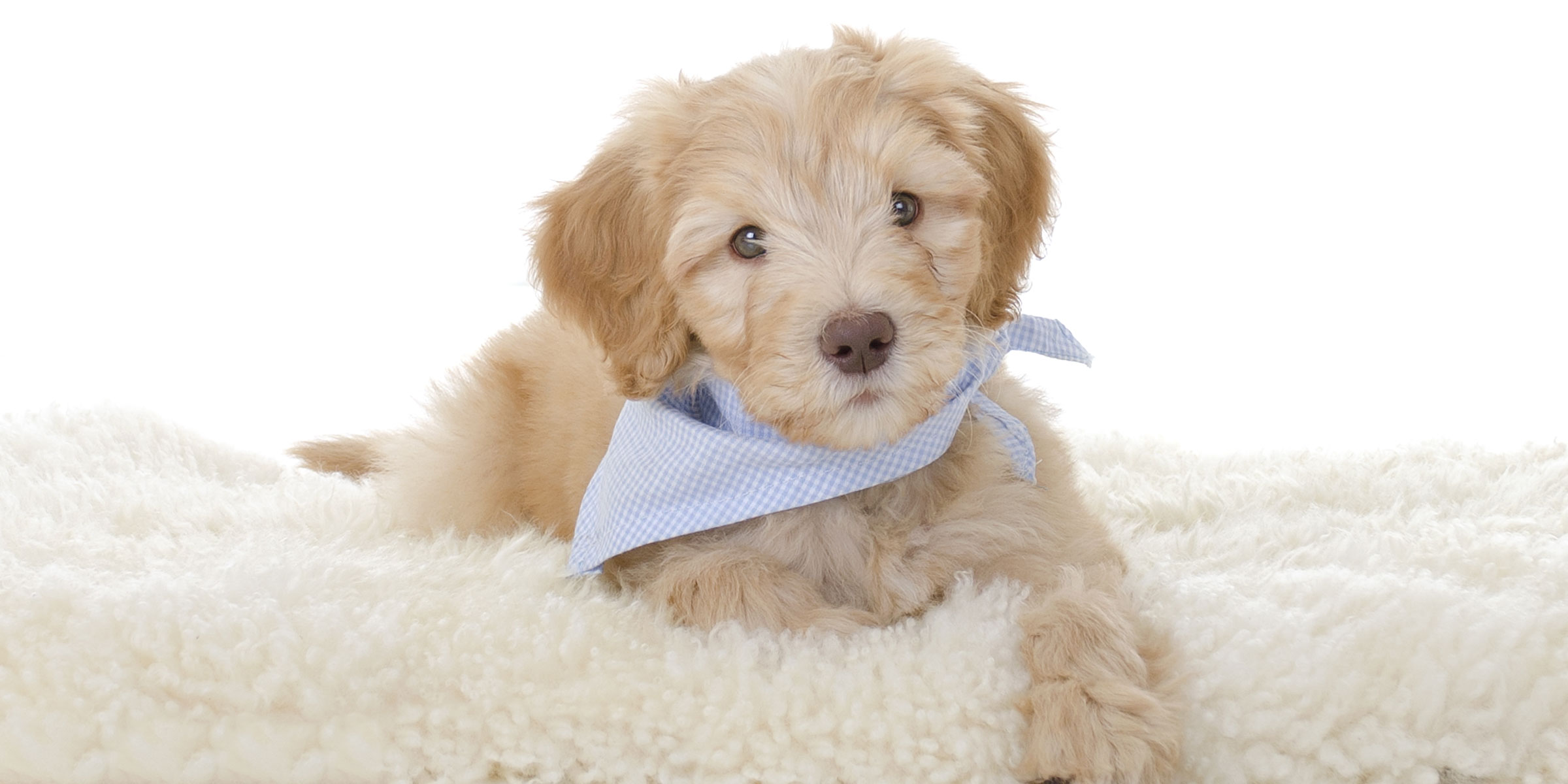 What's the Difference Between an Australian Labradoodle and a Labradoodle?