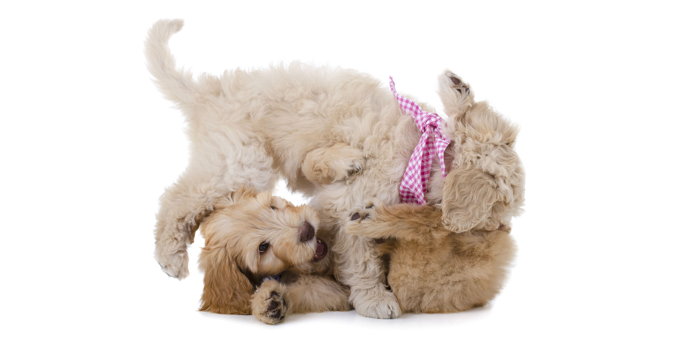 How to Find the Best Australian Labradoodle Breeders