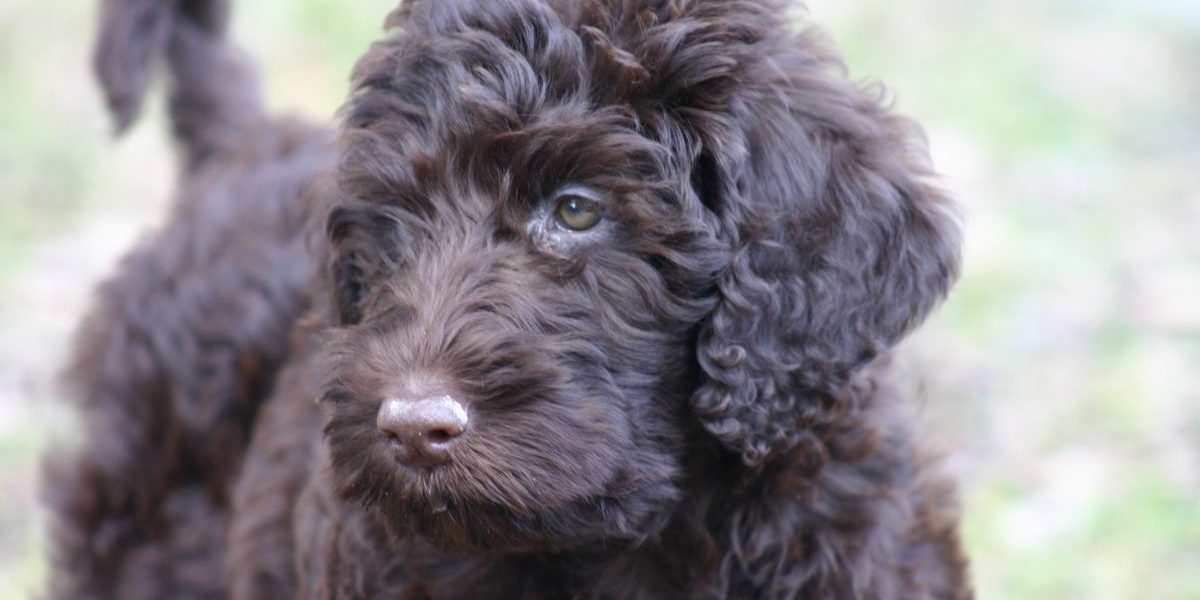How to Completely Puppy Proof Your Home for Your New Labradoodle