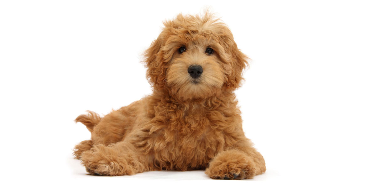 How to Avoid the Biggest Mistakes with Goldendoodle House Training