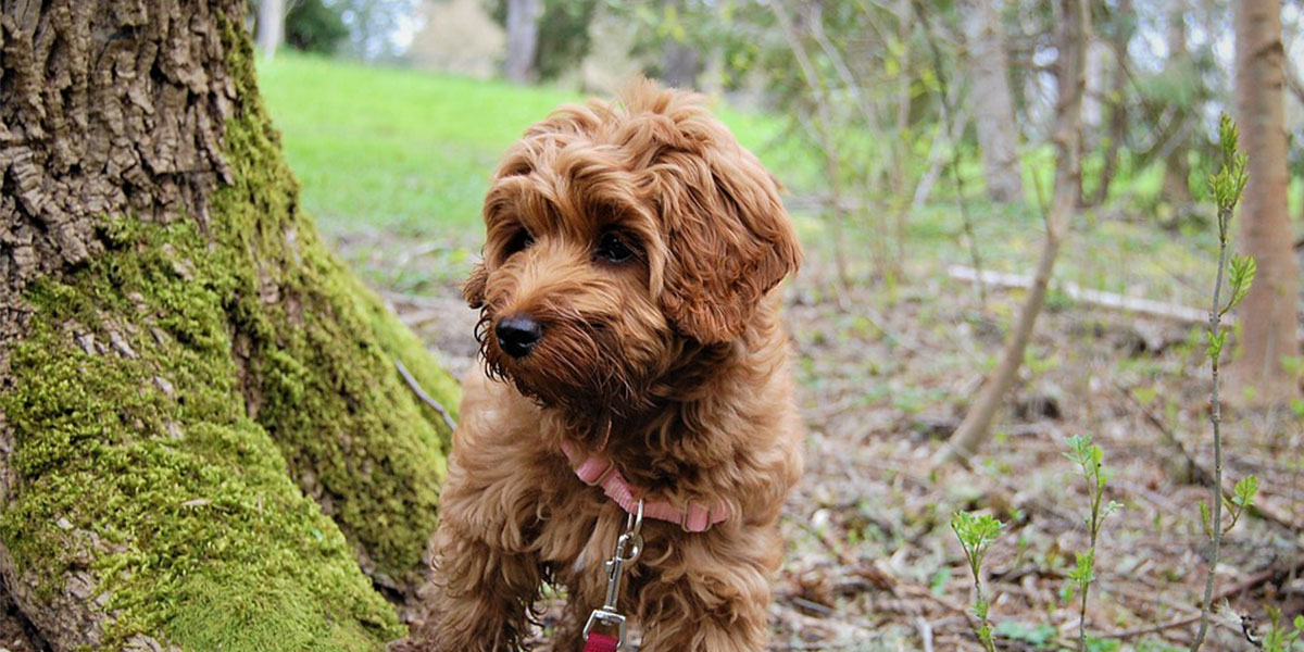 What Is a Mini Labradoodle?