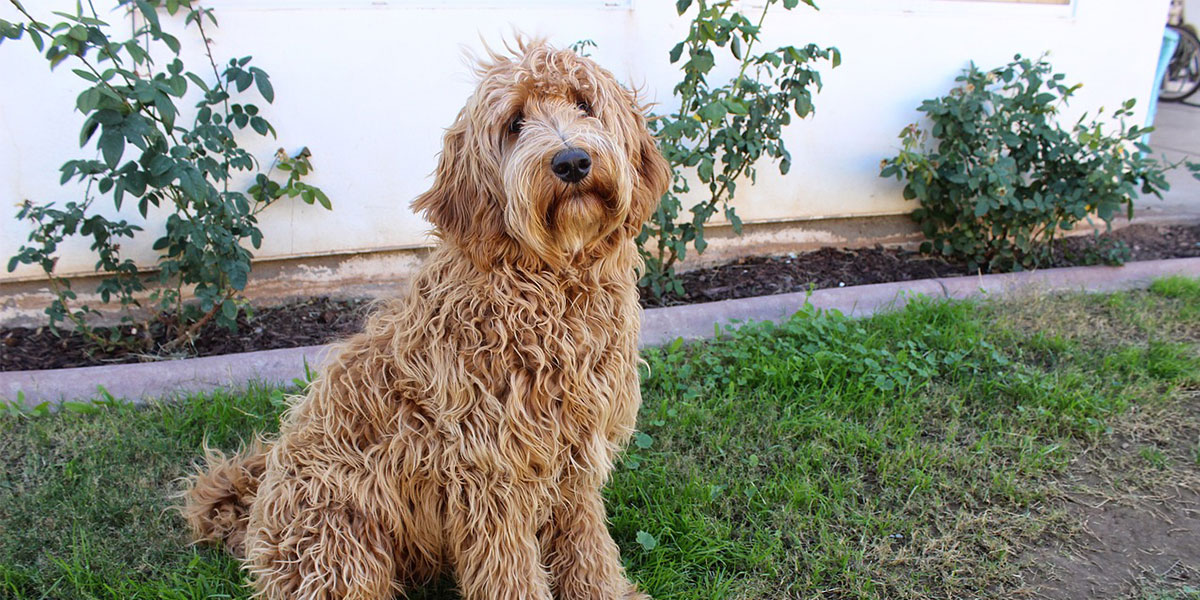 Train your labradoodle to be at home alone
