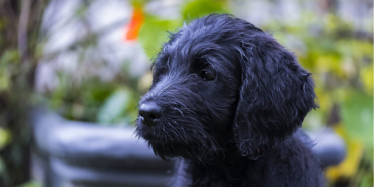 What Is a Doodle Dog, Exactly?