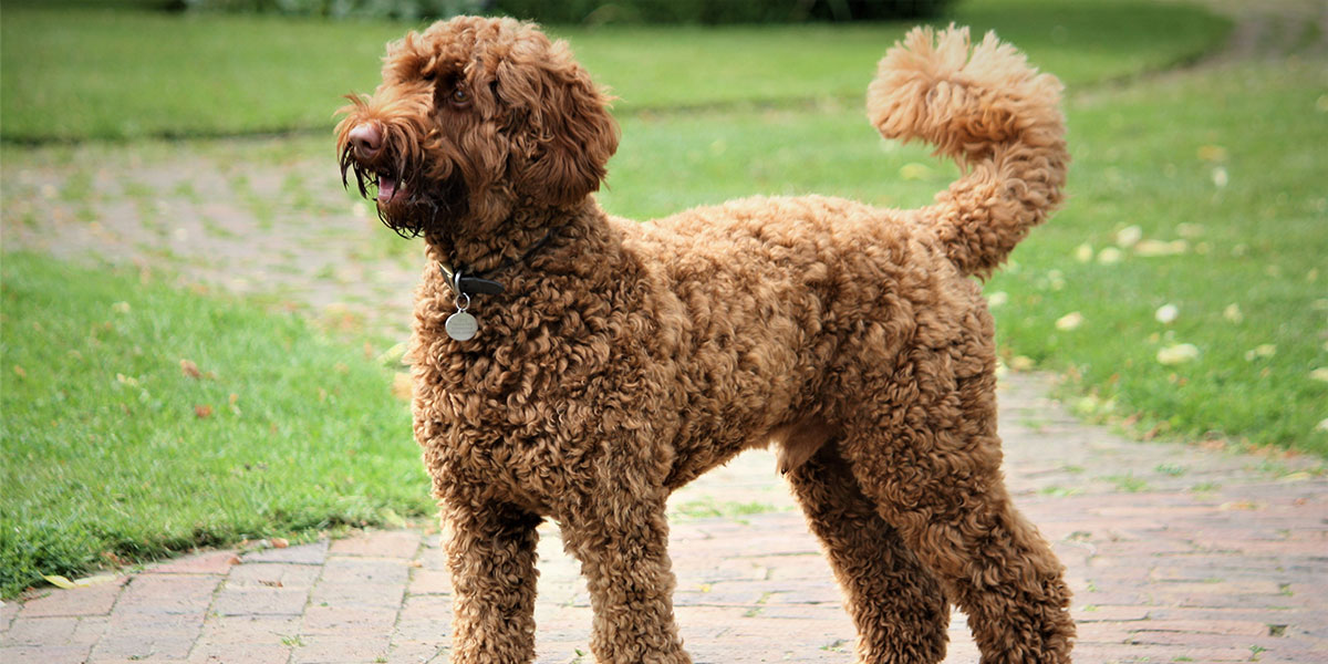If Your Labradoodle Could Talk, Here's What He'd Ask Your Vet