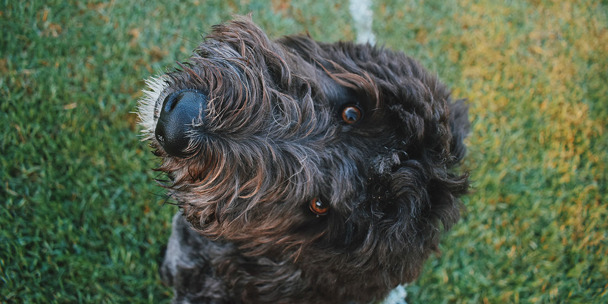 Turn Every Road Trip With Your Labradoodle Into A Joy Ride With This Simple Guide