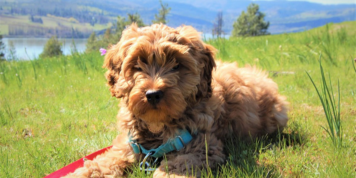 Smart Questions Every Goldendoodle Owner Needs to Ask Their Vet