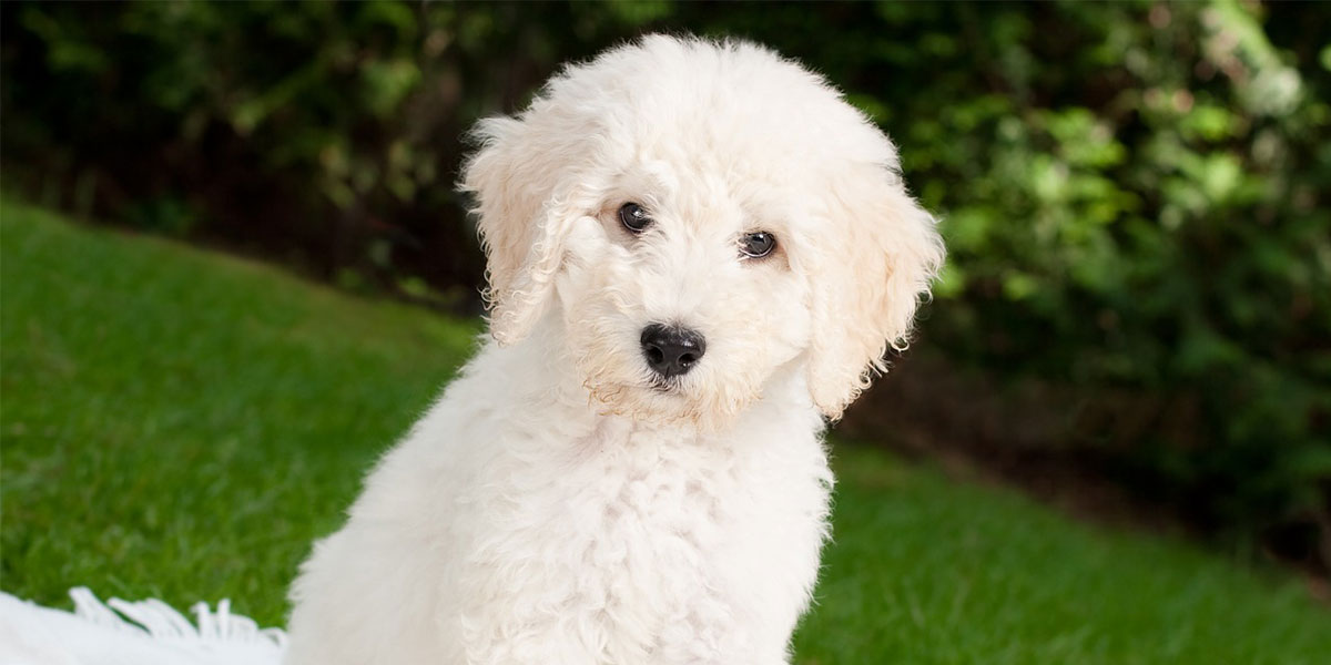 Quick Tips to Help Your Maltipoo With Separation Anxiety