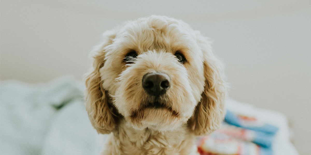 Goldendoodle on the Way? Here's How to Puppy Proof Your House in a Jiff