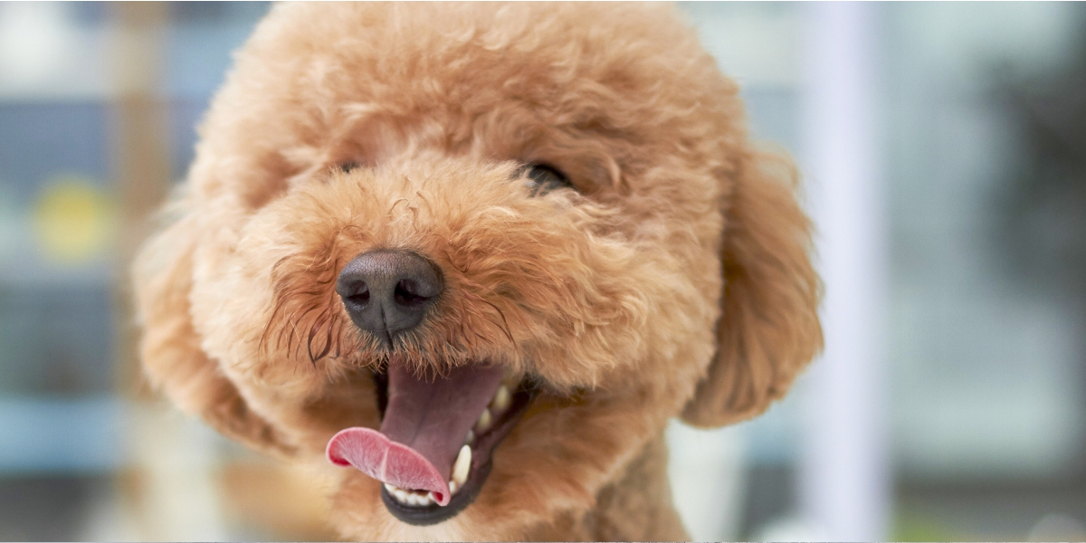 New Cavapoo On The Way? Here's How To Puppy Proof Your Home