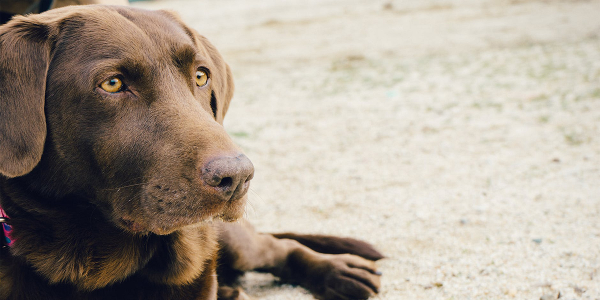 Yes, Labrador Retrievers Really Shed THAT Much. Here's What to Do About It.
