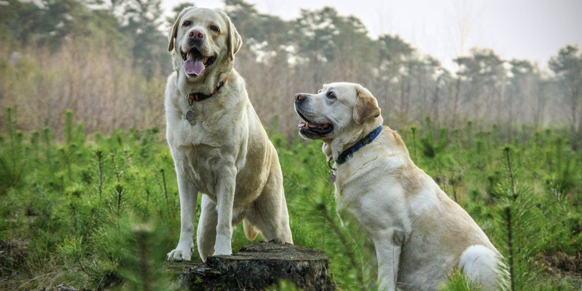 Get Your Lab to Stop Barking So Darn Much with This Insanely Simple Guide