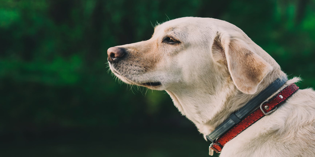 The Number One Thing Everyone with a Lonely Labrador Retriever Needs to Know
