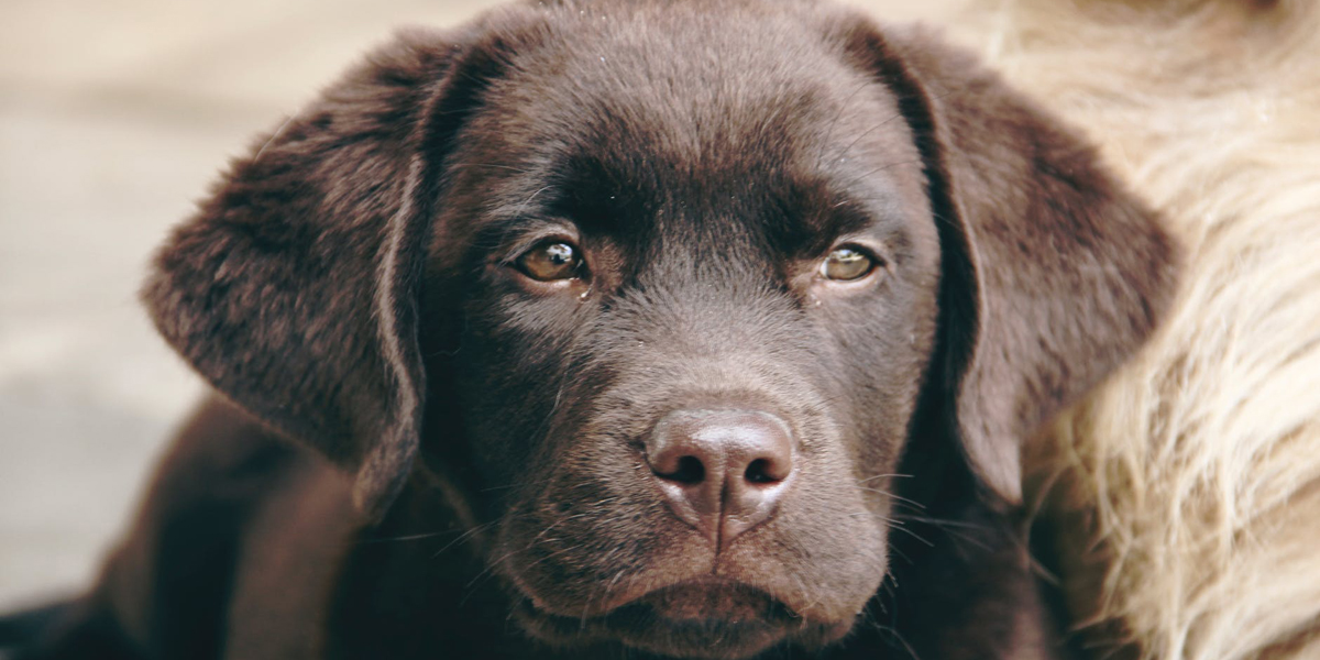 Labrador Retrievers Need More Room Than You Think. Does Your Home Make the Cut?