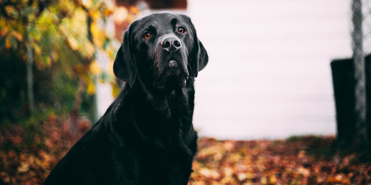 3 Reasons Why Labs Are Awesome Therapy Dogs (#2 Is So Important!)