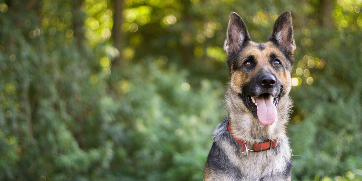 Best Dog Food for German Shepherds 2019: An Honest Review